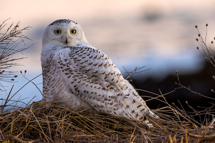 Snowy Owl at Edwin B. Forsythe National Wildlife Refuge