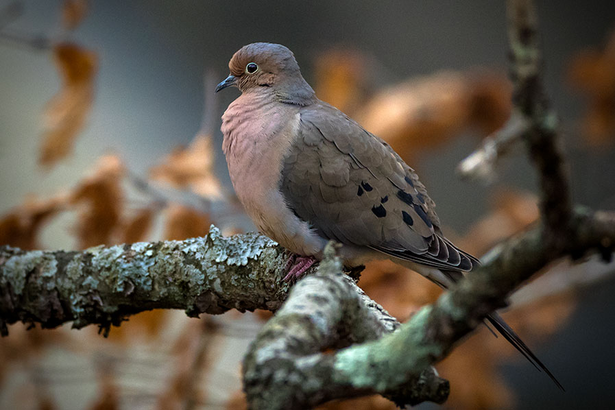 An ordinary Mourning Dove in the back yard.