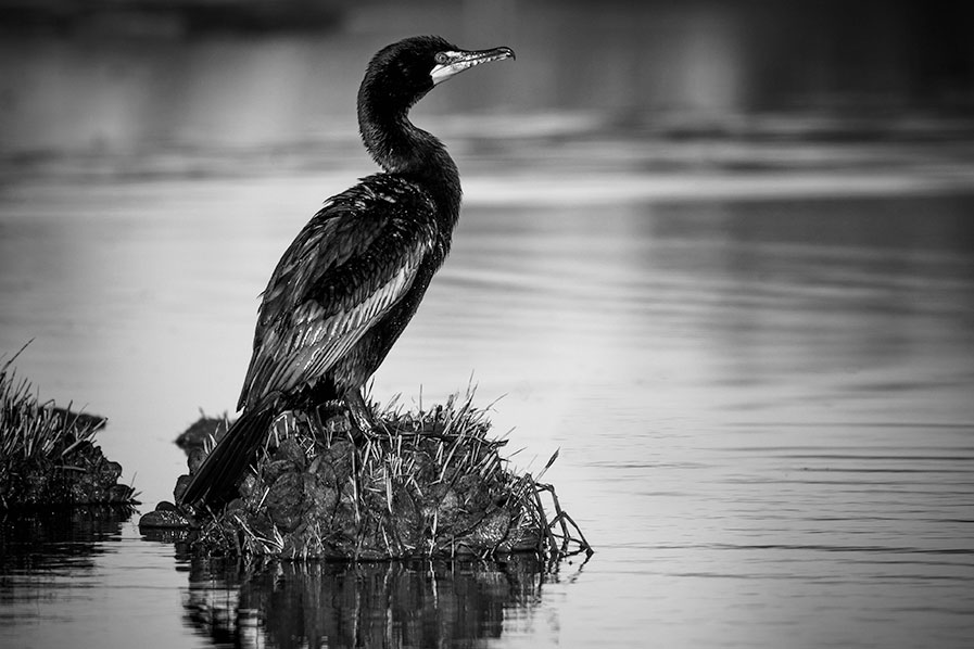 Double-crested Cormorant at Edwin B. Forsythe National Wildlife Refuge, Oceanville, New Jersey