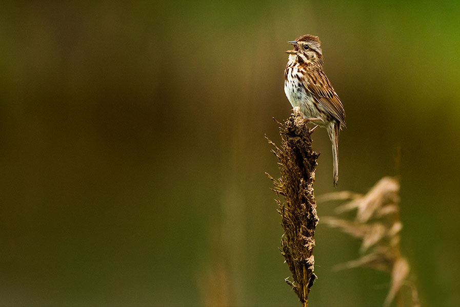Song Sparrow singing at Edwin B. Forsythe National Wildlife Refuge.
