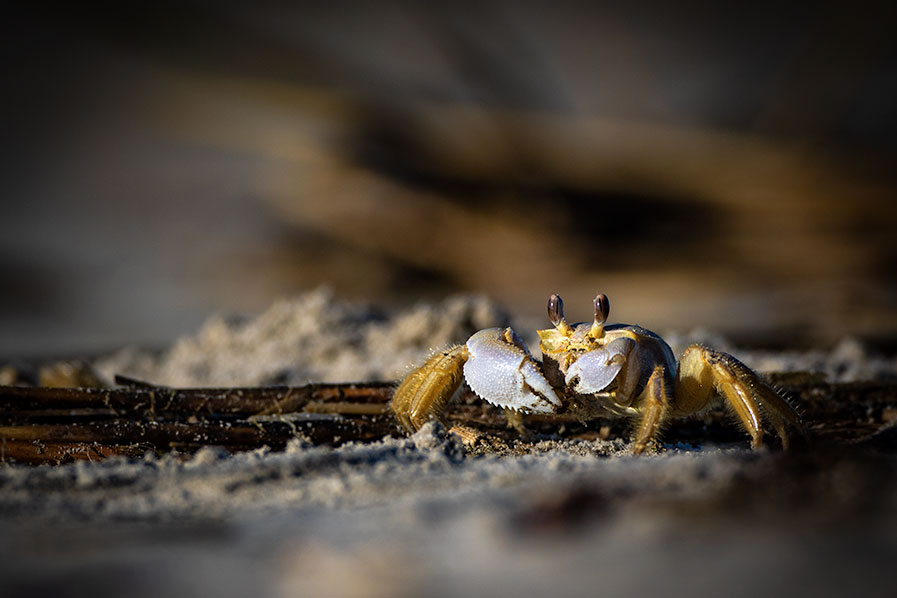 Ghost Crab at Stone Harbor Point Beach