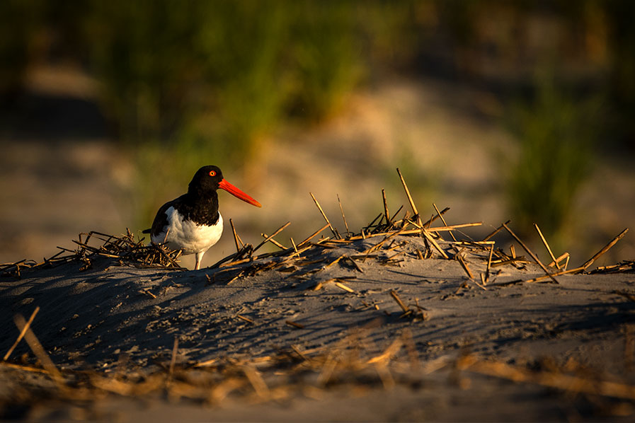 Oystercatcher at Stone Harbor Point, New Jersey