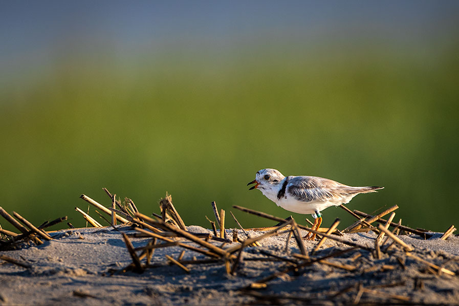 Piping Plover in the dunes at Stont Harbor Point.