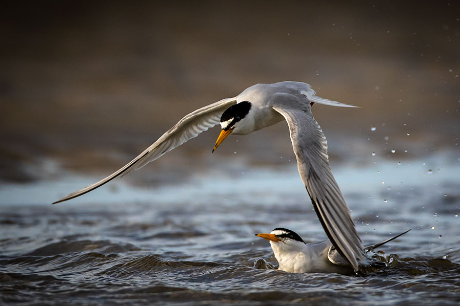 Two Least Terns interacting at Stone Harbor Point.
