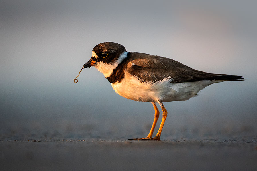 The early bird, a Semipalmated Plover catches a worm at Stone Harbor Point in Stone Habor, New Jersey.