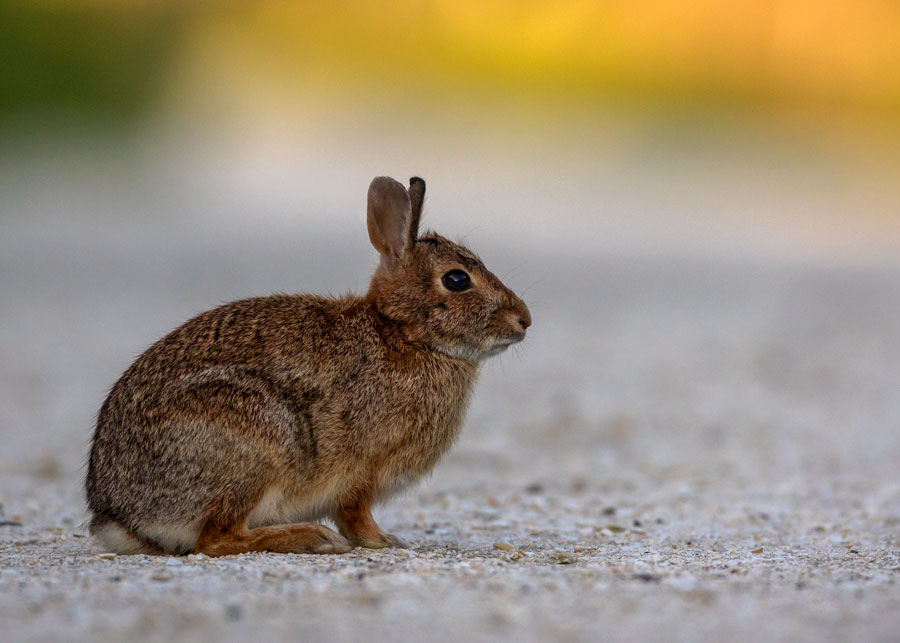 Rabbit sitting on sandy path at Stone Harbor Point